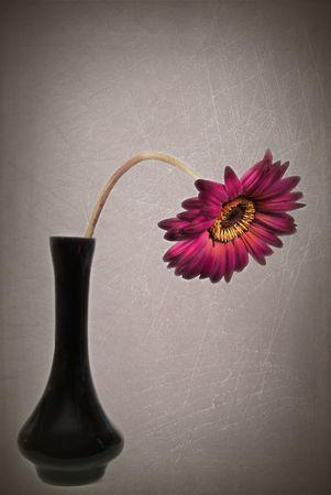 Drooping gerbera daisy in black vase.