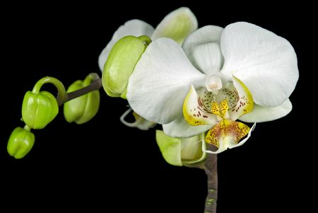 luster: Pearl white orchid with buds on black.