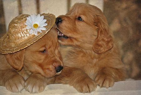 pups: Golden retriever pups with hat in texture.