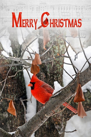 snow cardinal: Male cardinal in winter tree with Christmas greeting. Stock Photo