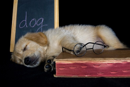 golden: Golden retriever puppy with book and chalboard.