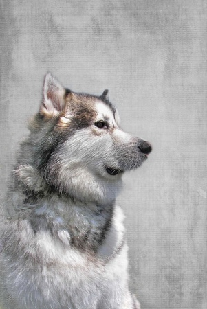 Alaskan Malamute with silver textured layers.
