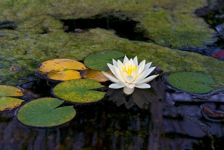 Single water lily floating in koi pond. photo