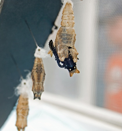 Black swallowtail emerging from chrysalis.