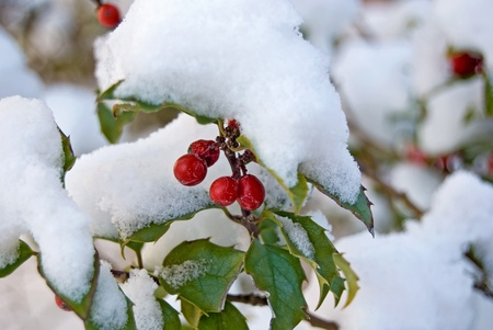 Holly berries covered with snow. photo