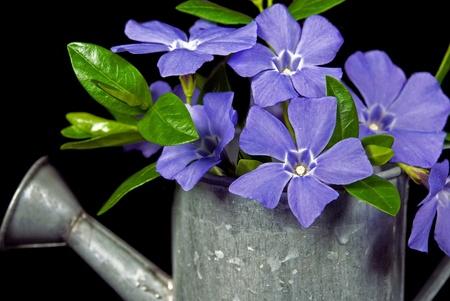 purple metal: purple myrtle bouquet in old watering can.