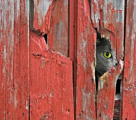 peeping barn cat Banque d'images