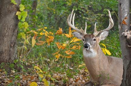 秋の森の中で大きなホワイトテイル降圧。