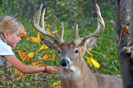 Little girl feeding a big buck.