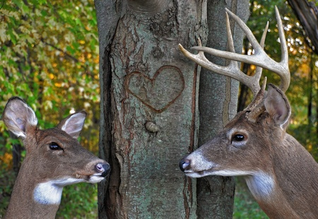 Buck and doe in autumn woods.