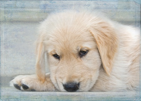 golden texture: golden retriever pup with textured layers Stock Photo