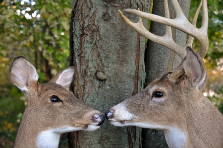 Buck and doe in woods. Stock Photo