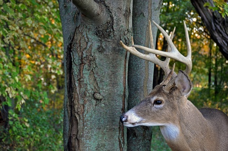 big buck in autumn woods photo