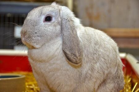 Floppy eared bunny in barn  photo