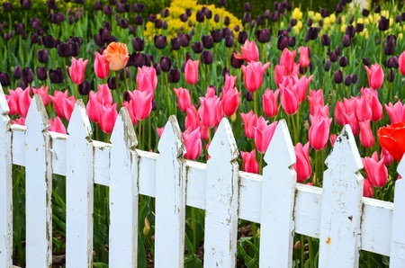 weather picket fence with Dutch tulips Stock Photo - 13271426
