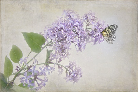 butterfly on lilac blossom with texture photo