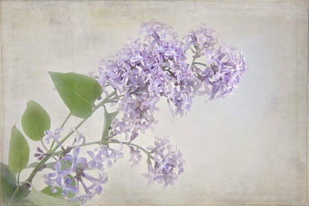 Lilac bloom with soft textured overlay