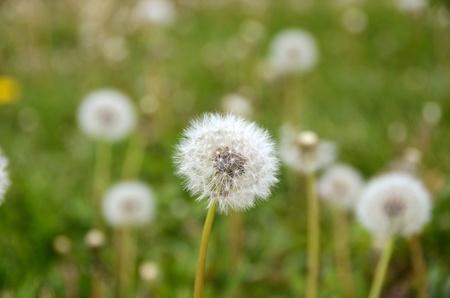 fuzzy dandelion field Stock Photo - 13523639