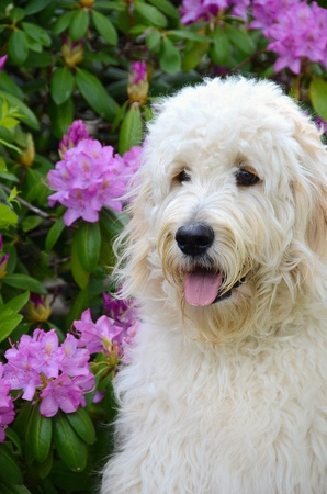 azalea: Labradoddle in a azalea garden  Stock Photo