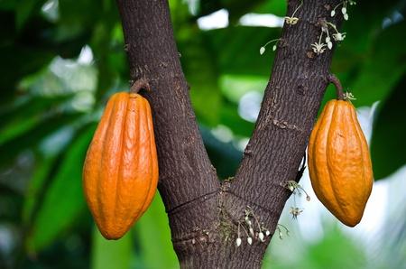 orange pods on cocoa tree photo