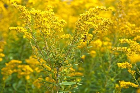 goldenrod: bumblebee on goldenrod