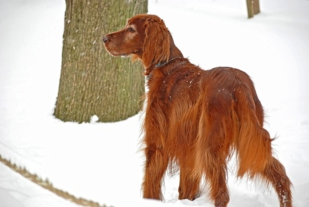 Irish Setter in snow Stock Photo - 17666792