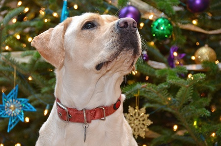 Labrador retriever door vakantie boom Stockfoto
