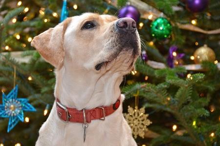 Labrador retriever by holiday tree Banque d'images