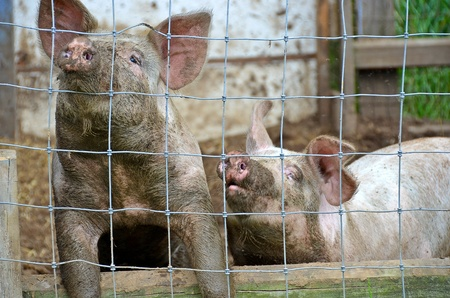 pigpen: pair of pigs in pigpen