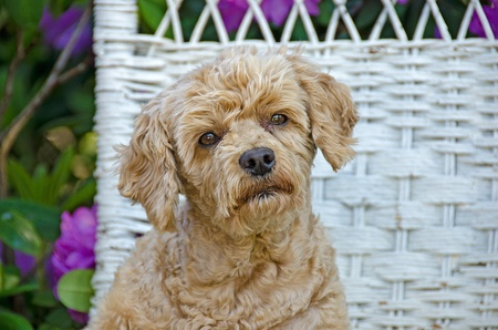poodle on a wicker chair photo