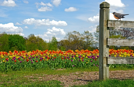 robin sitting on a fence with tulip field photo