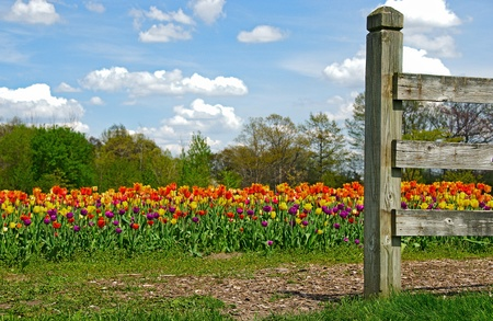 old fence in a Dutch tulip field photo