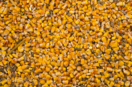 dried corn and grain for chicken feed