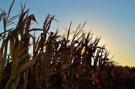 夕焼けと秋のトウモロコシの茎 写真素材