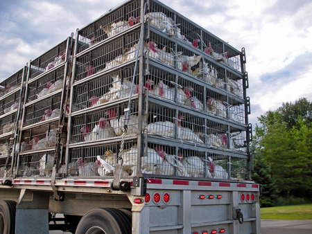 turkeys in cages transported by truck
