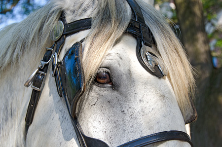 blinder: horse with fancy bridle Stock Photo