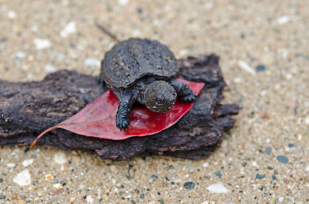 baby snapping turtle on red leaf