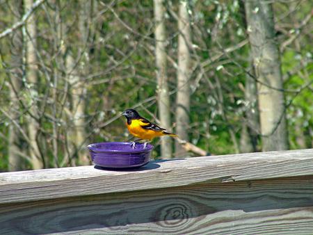 oriole: Baltimore Oriole perched on purple bowl