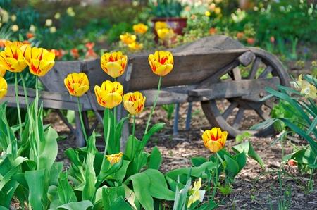 dutch: old wheelbarrow in Dutch tulip garden Stock Photo