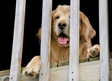 golden retriever peeking behind deck rail