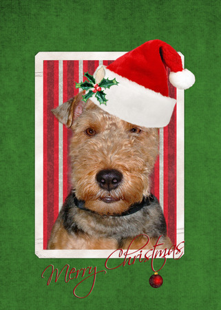 welsh: Christmas Welsh terrier with holiday hat