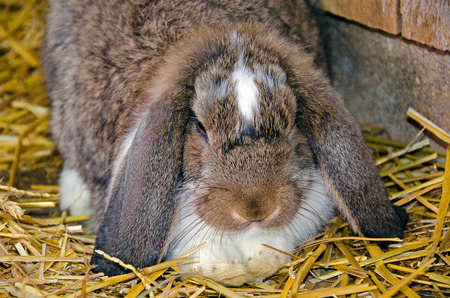 lop eared: lop eared rabbit in straw