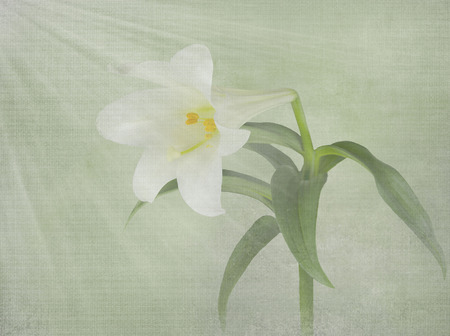 light rays on Easter lily with soft texture overlay
