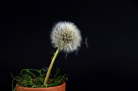 fluffy dandelion in clay pot