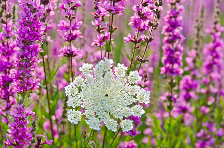 queen anne   s lace: Queen Annes Lace in purple loose-strife