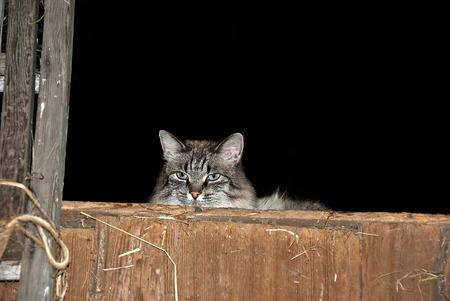 헛간 건초 더미에 헛간 고양이 스톡 콘텐츠