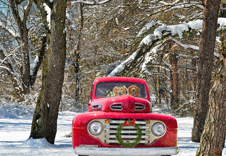 golden retrievers in red old truck with holiday wreath Stock Photo