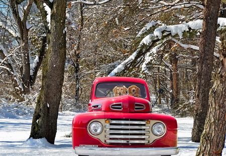 pickup truck: los golden retriever en cosecha camioneta roja en invierno
