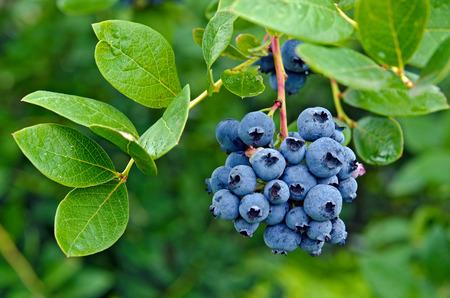 ripe blueberries on blueberry bush