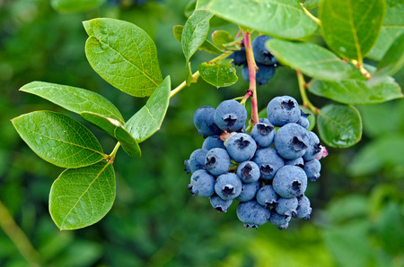 ripe blueberries on blueberry bush